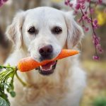 Can My Dog Eat Carrots